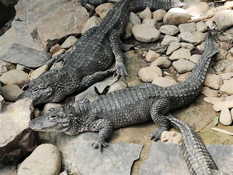 Chinese Alligator Facts and Pictures | Reptile Fact