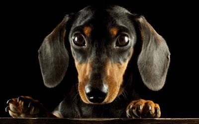 Download wallpapers dachshund, muzzle, dogs, cute animals