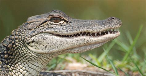 Difference Between Alligators and Crocodiles - KnowledgeNuts